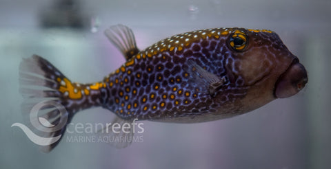 Scribbled Boxfish Male
