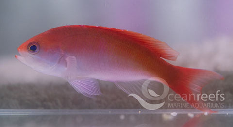 Cooperi Anthias