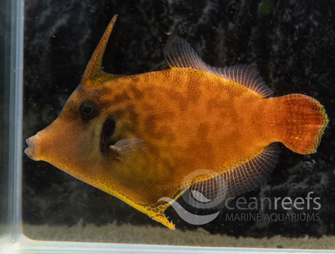 Red Tail Filefish