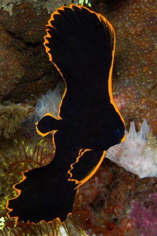 Red Line Batfish