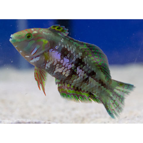 Gold Nugget Wrasse