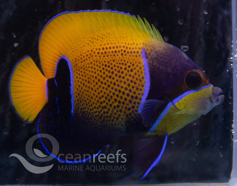 Majestic Angelfish (Adult)