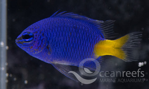 Yellow Tail Kupang Damsel
