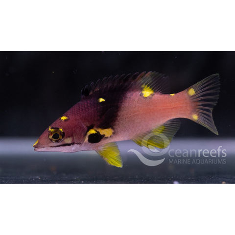 Split Level Hogfish