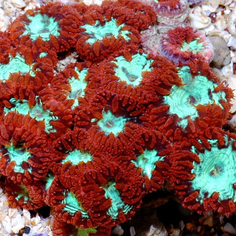 Red/green Posie  price per polyp