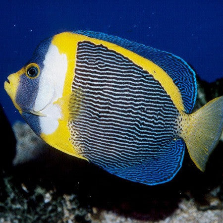Scribbled Angelfish (Large Male)