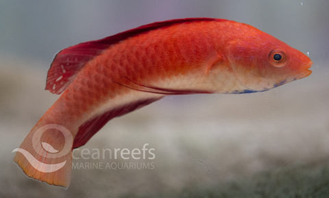 Red fin Wrasse