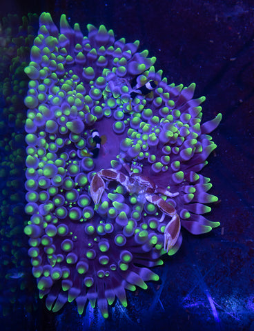 QLD Tiger Stripe Acan 2""