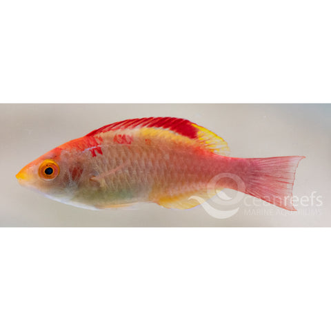 Red Fin Fairy Wrasse