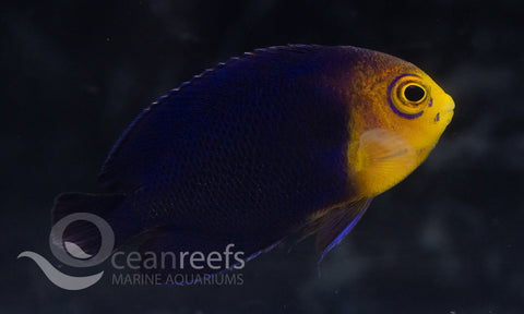 Atlantic Pygmy Angelfish