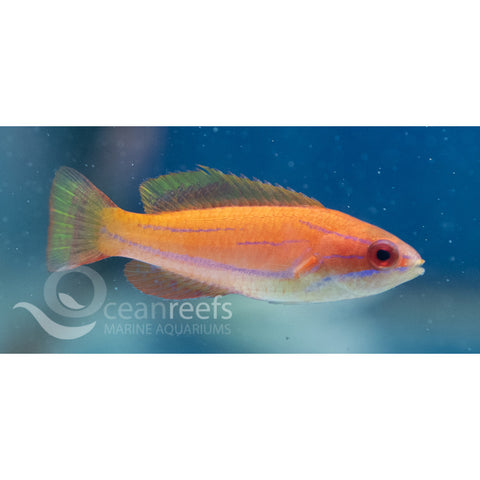 Carpenter's wrasse