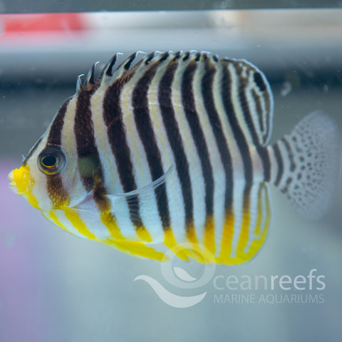 Multibar Angelfish