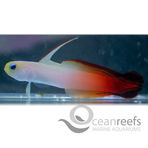 Red Firetail Goby
