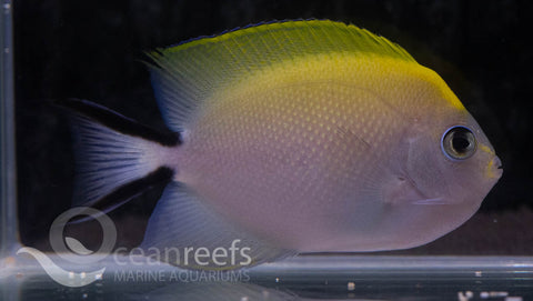 Spot Breasted Angelfish (Female)