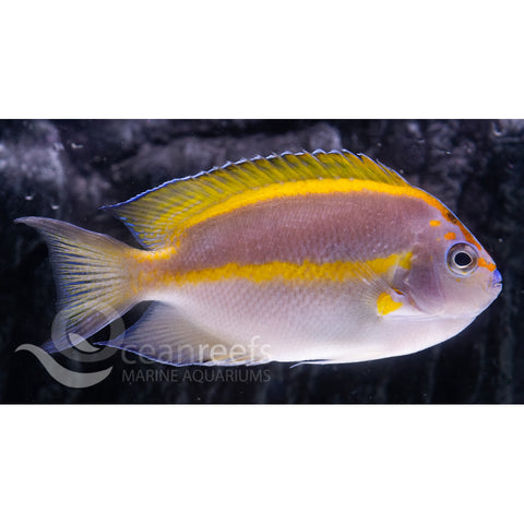 Bellus Angelfish (Male)