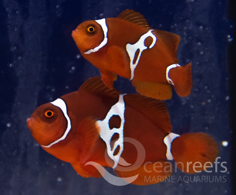 Lightning Maroon Clownfish Pair