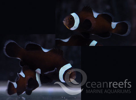 Extreme Broken Black Clownfish Pair