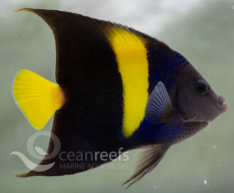 Arabian Angelfish (Adult)