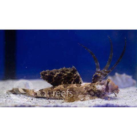 Finger Dragonet