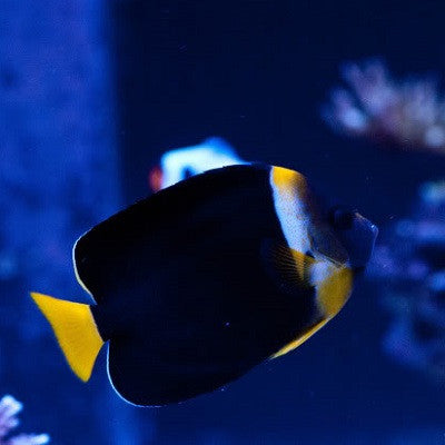 Personifer Angelfish (Female)