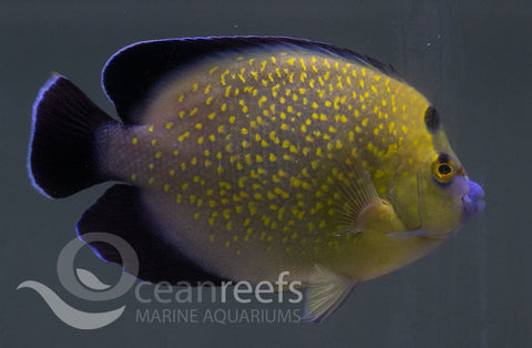 Gold Flake Angelfish