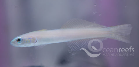 Pale Goby