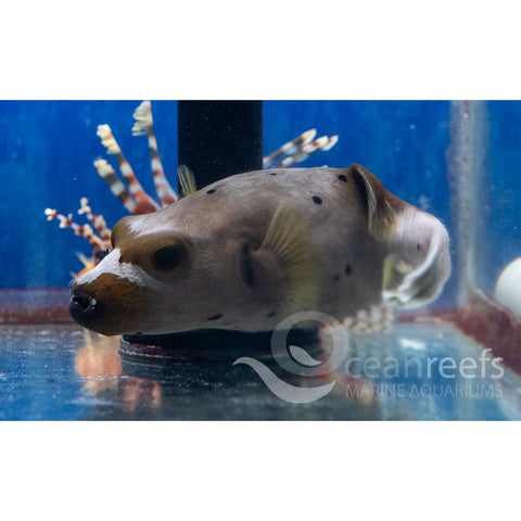 Dog Faced puffer