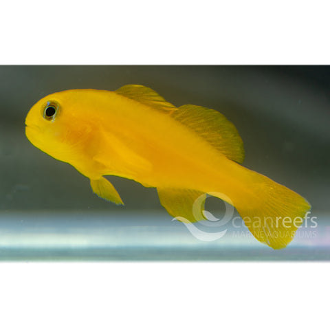 Yellow Coral Goby