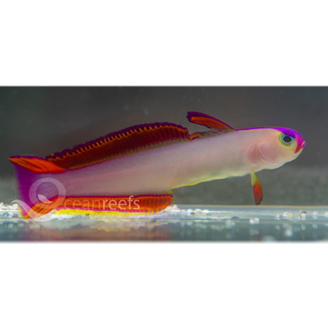 Purple Decora Goby