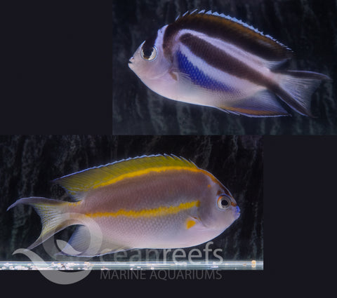 Bellus Angelfish Pair