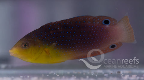 Twistii Wrasse