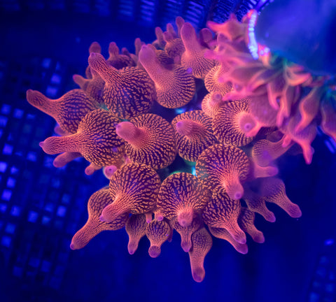 Forest Fire Bubble Tip Anemone