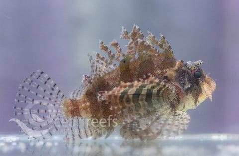Dwarf Shortfin Lionfish