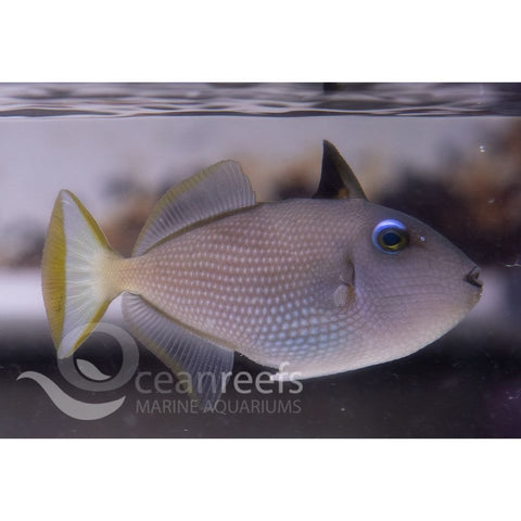 Blue Jaw Trigger Female