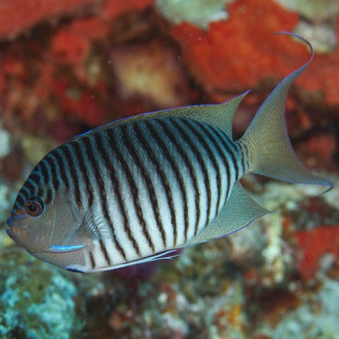 Black Spot Angelfish (Male)