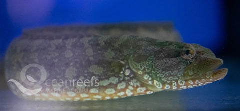 Green Carpet Eel Blenny