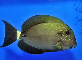Freckled Surgeonfish