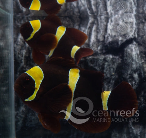 Maroon Gold Stripe Anemonefish