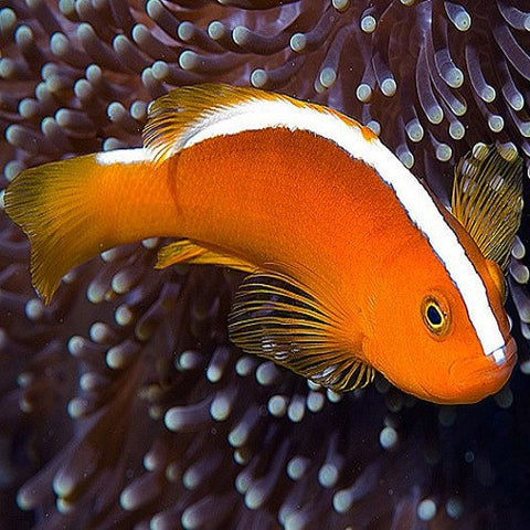 Orange Skunk Anemonefish