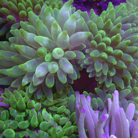 Bubble Tip Anenome
