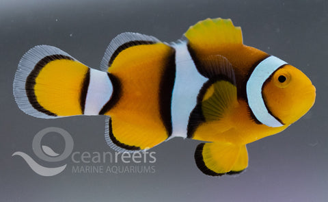 Percula Anemonefish
