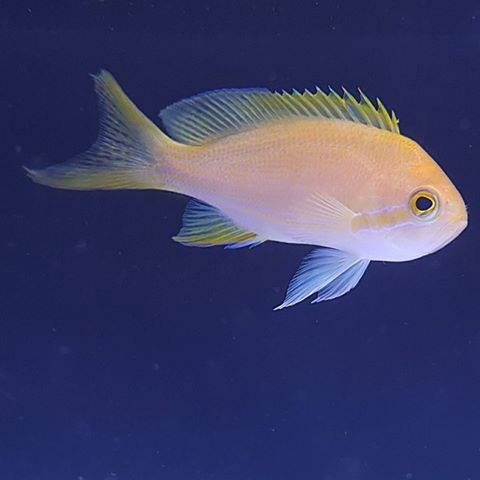 Square Block Anthia (Female)