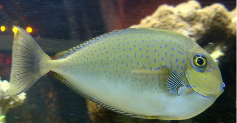 Spotted Unicorn Tang