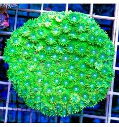 Bright green large polyp Cup coral