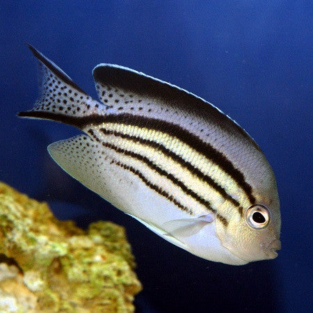 Lamarks Angelfish (Female)