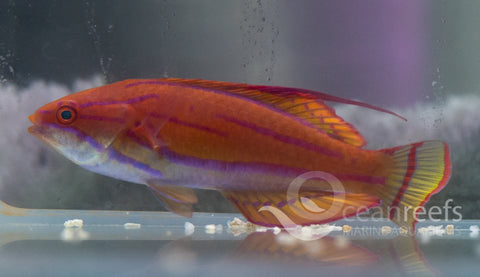 Eightlinefin Flasherwrasse