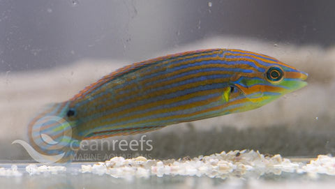 Orange Tipped Wrasse