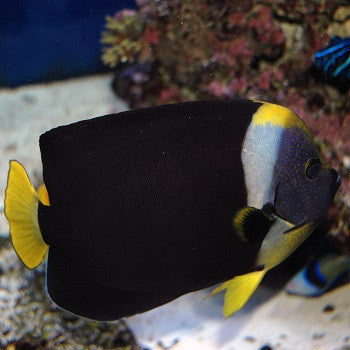 Personifer Angelfish (Male)