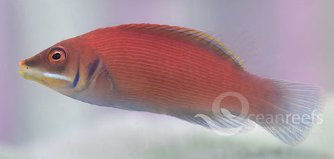 Pinstriped Wrasse