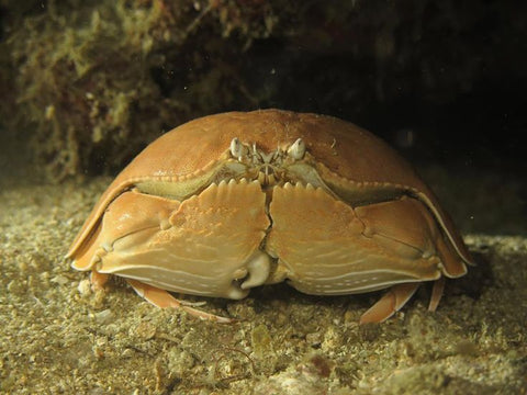 Shame-faced Crab